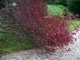 fallen plum tree