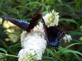 two diana fritillaries