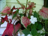 caladiums and white impatiens