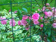 pink roses and bishops weed