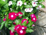 red and white vinca
