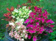mixed color coleus