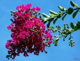 flower clusters of crape myrtle