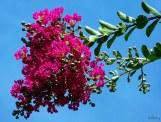 flower clusters of crape myrtle