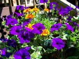 petunias and marigolds