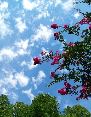 crape myrtle flowers and summer sky
