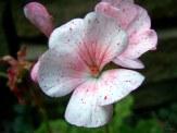 speckled geranium