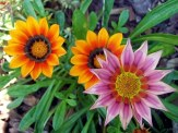 mixed colors gazania flowers