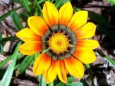 bright yellow and orange treasure flowers