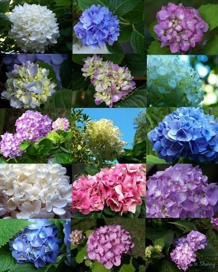 mixed colors hydrangeas