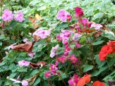 begonias, impatiens, bishops weed
