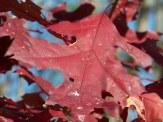 burgundy oak leaf