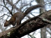 squirrel in dogwood tree