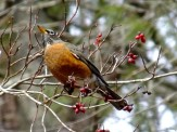 robin eating dogwood berries