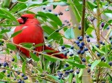cardinal in hedge bush