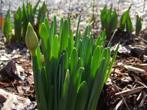 daffodil bud