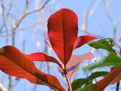 red tip photinia shrub