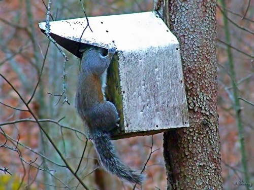 gray squirrel and birdhouse