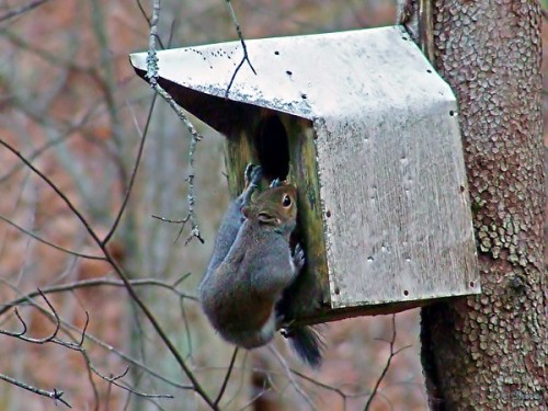squirrel gnawing around birdhouse opening