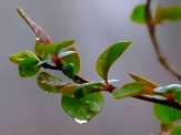 raindrops on new leaves of flowering quince shrub