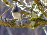 junco in a dogwood