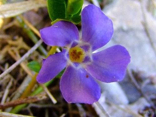 creeping myrtle flower
