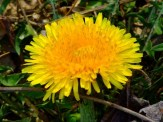 dandelions are even blooming!
