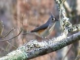tufted titmouse in dogwood