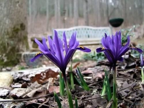 Harmony dwarf iris flowers