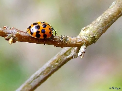 orange and black ladybug