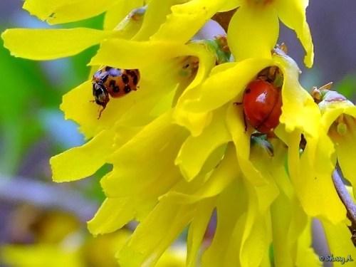 two ladybugs on forsythia