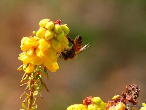 honeybee on oregon grape flower