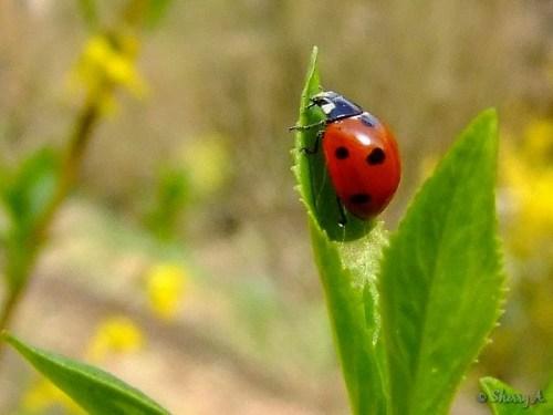 ladybug on forsythia shrub