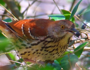 brown thrush eating hedge berries