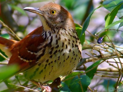 Brown Thrush