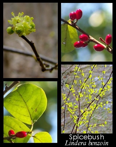 spicebush flowers, foliage and berries