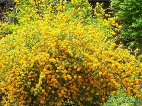 kerria japonica in full bloom