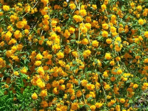 kerria flowers