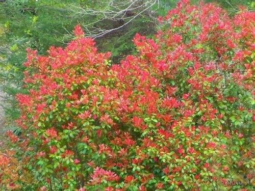 redtip photinia shrubs