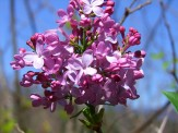 lilacs flowering