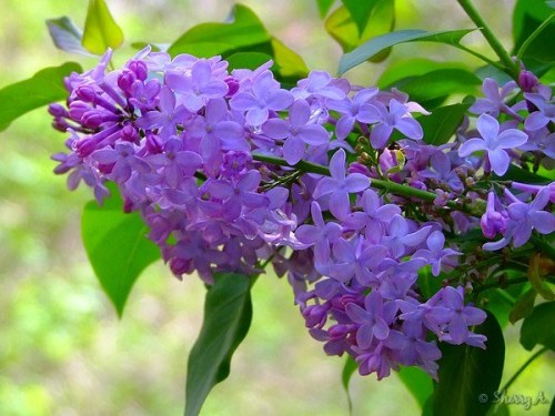 lilac flower cluster