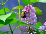 lilac flowers and bumble bee