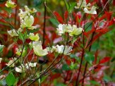 dogwood flowers and redtip shrubs