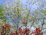 dogwood tree in bloom with redtip