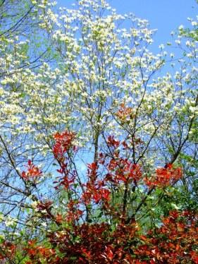 dogwood and redtip photinia