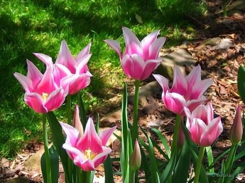Claudia tulips