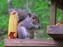 squirrel at feeder