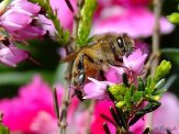 honey bee on pink heather