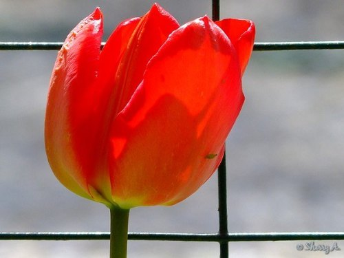 first tulip bloom