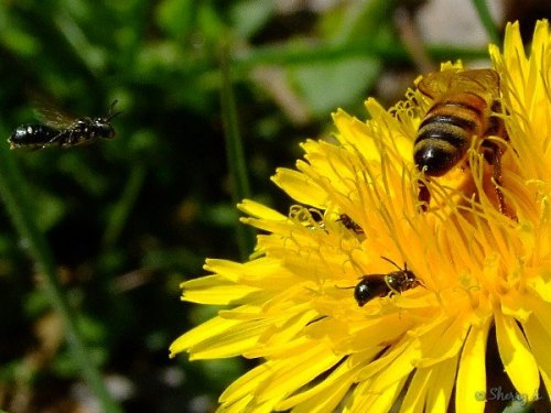 four bees on a dandelion flower